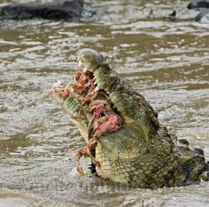 Gator eating the flesh of Charleston Southern football team members